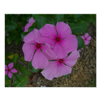 Three Pink Periwinkles Poster