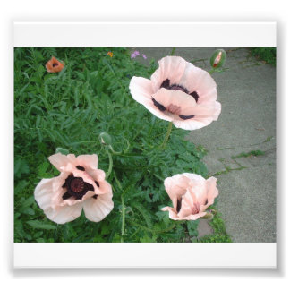 Three Pink Poppies Photographic Print