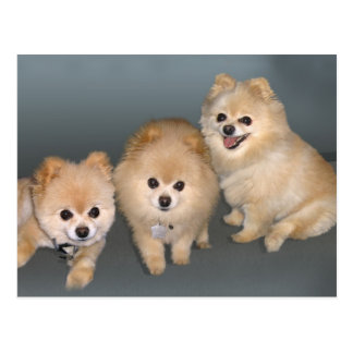 Three Pomeranians Postcard