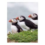 Three Puffins Postcard