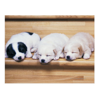 Three Puppies Postcard