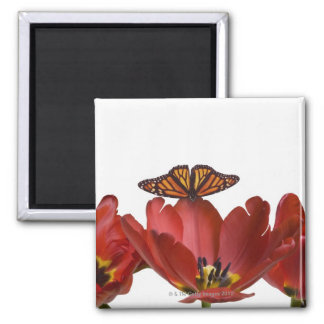 Three red tulips and a monarch butterfly against magnet