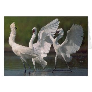 Three Reddish Egrets Card