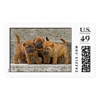 Three Shar-Pei 4 week Old Pups Postage