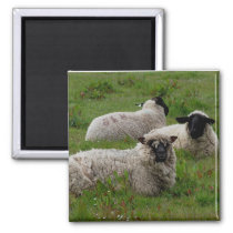 Three Sheep Magnet