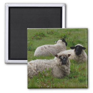 Three Sheep Magnet