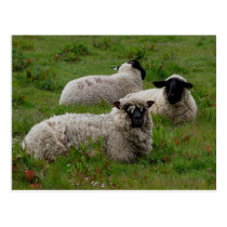 Three Sheep Postcard