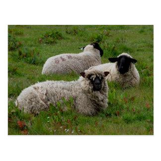Three Sheep Post Card