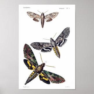 Three sphinx moths print