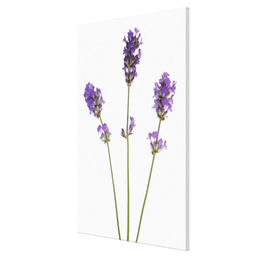 Three stems of English purple lavender flowers, Gallery Wrap Canvas