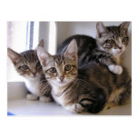 Three Tabby Kittens Postcard
