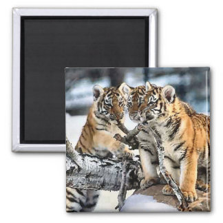 Three Tiger Cubs In Snow Art Gifts 2 Inch Square Magnet
