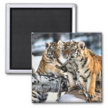 Three Tiger Cubs In Snow Art Gifts Fridge Magnets