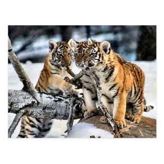 Three Tiger Cubs In Snow Art Gifts Postcards