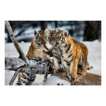 Three Tiger Cubs In Snow Art Gifts Print