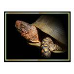 Three-toed Box Turtle Postcard.