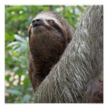 Three Toed  Sloth Poster