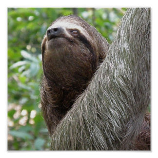 Three Toed  Sloth Poster