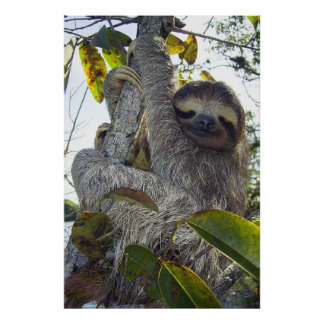 Three-Toed Sloth Poster