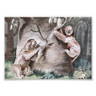 Three Toed Sloths Vintage Art Photo Art