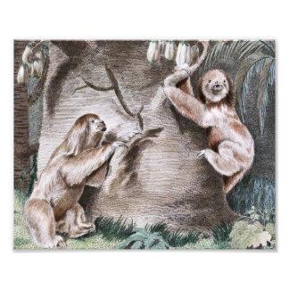 Three Toed Sloths Vintage Art Photo Print