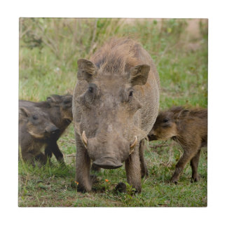 Three Warthog Piglets Suckle On Their Mother Ceramic Tile