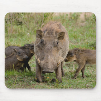 Three Warthog Piglets Suckle On Their Mother Mouse Pad