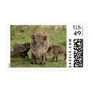Three Warthog Piglets Suckle On Their Mother Postage