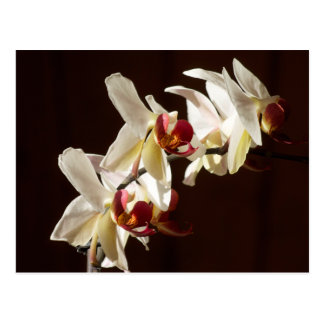 Three White and Burgundy Orchids Photograph Postcards