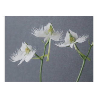 Three White Egret Orchids Posters