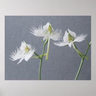 Three White Egret Orchids Print