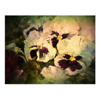 Three White Pansies (textured) Postcard
