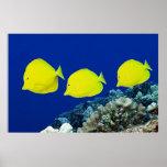 Three Yellow Tangs - Hawaii Posters
