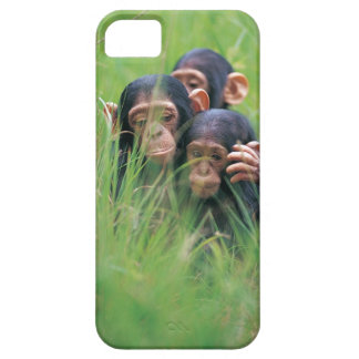 Three young Chimpanzees Pan troglodytes in iPhone 5 Cases