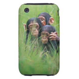 Three young Chimpanzees Pan troglodytes in iPhone 3 Tough Covers