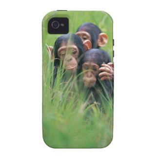 Three young Chimpanzees Pan troglodytes in Vibe iPhone 4 Covers