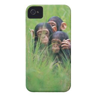 Three young Chimpanzees Pan troglodytes in iPhone 4 Covers