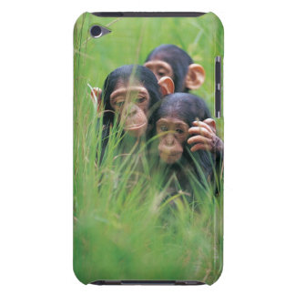 Three young Chimpanzees (Pan troglodytes) in iPod Touch Case