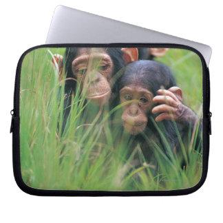 Three young Chimpanzees (Pan troglodytes) in Laptop Computer Sleeves