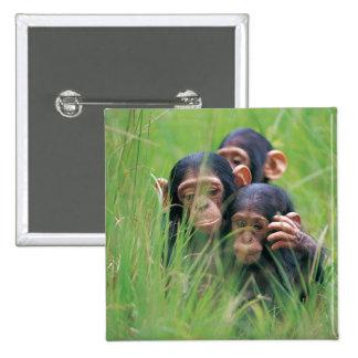 Three young Chimpanzees (Pan troglodytes) in Pinback Button