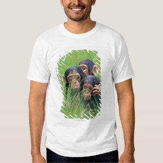 Three young Chimpanzees (Pan troglodytes) in T-Shirt