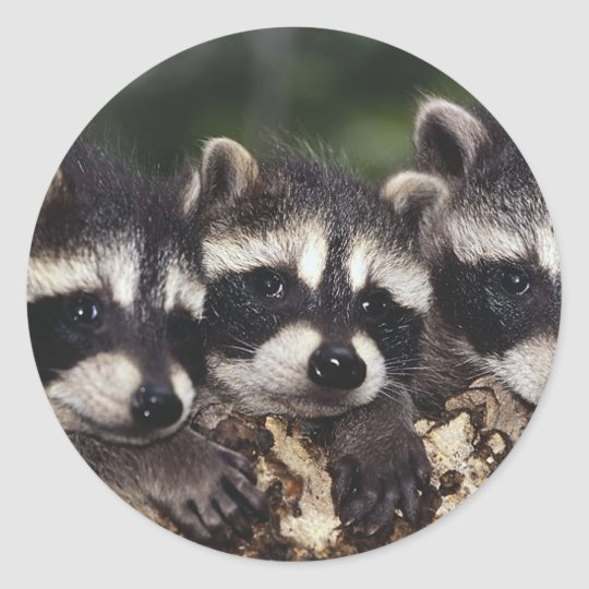 Three Young Raccoons Classic Round Sticker