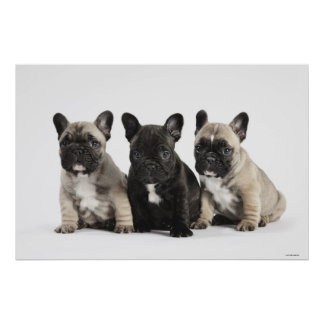 Threee Pedigree Puppies Poster