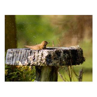 thrush in birdbath postcard