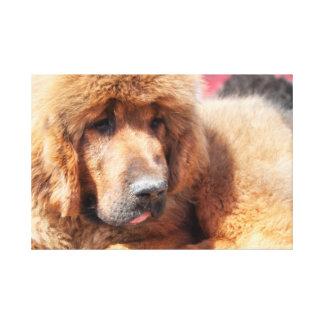 Tibetan Mastiff Stretched Canvas Prints