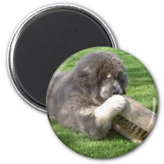 Tibetan Mastiff Jampo with broom magnet