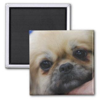Tibetan Spaniel Puppy Magnet Fridge Magnet