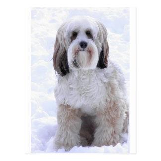 Tibetan Terrier Sable and White Postcard
