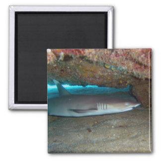 Tiburón 2 del filón de Whitetip Imán Cuadrado