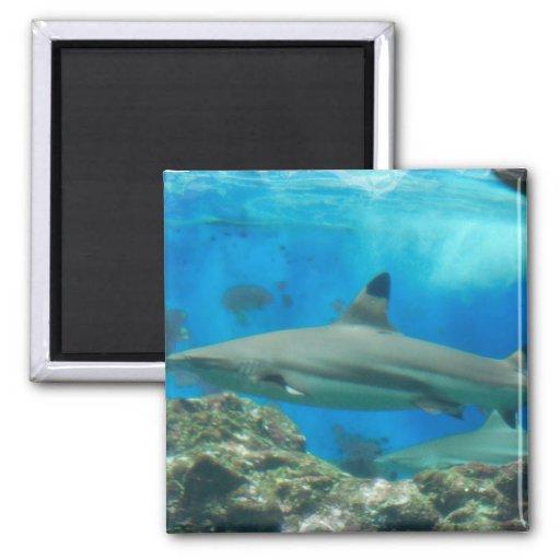 Tiburón con el imán del filón